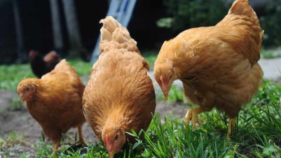Тетра порода кур