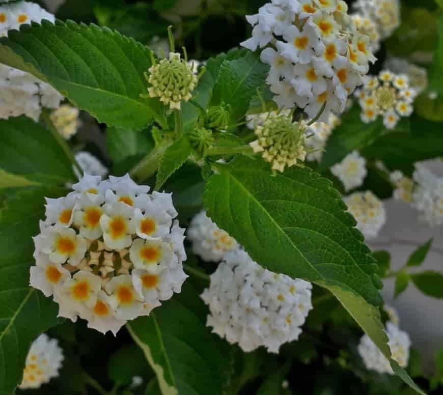 Lantana цветок фото