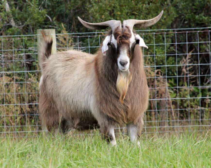 Породы коз Кико