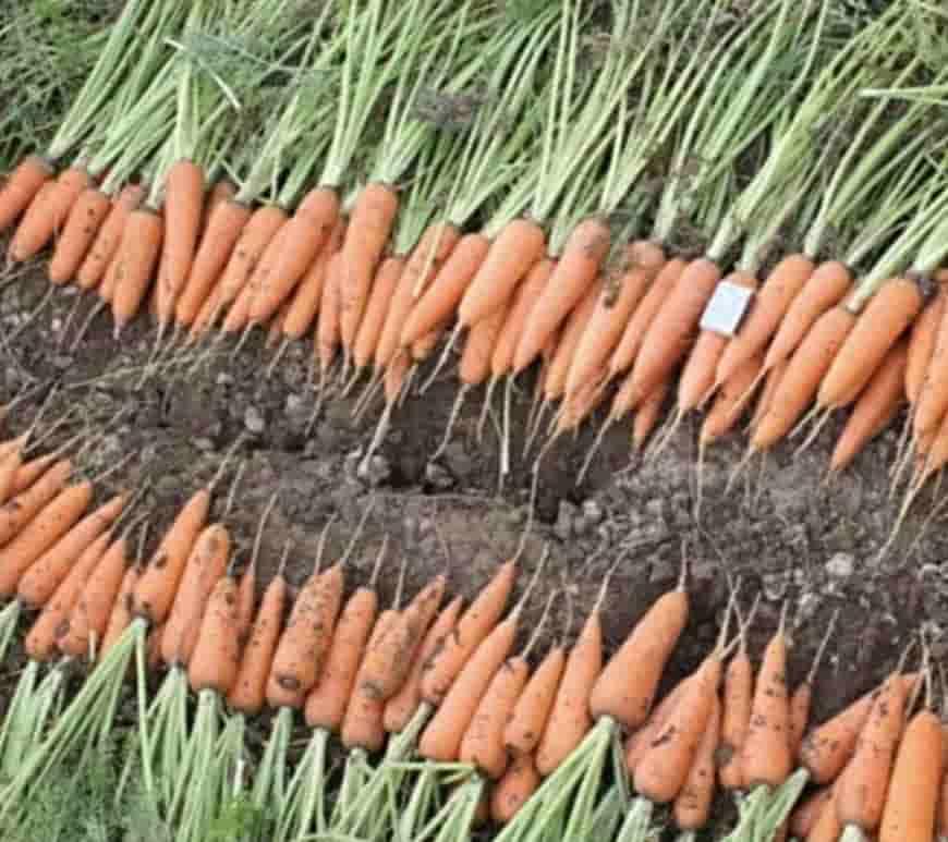 Сорт моркови Абако