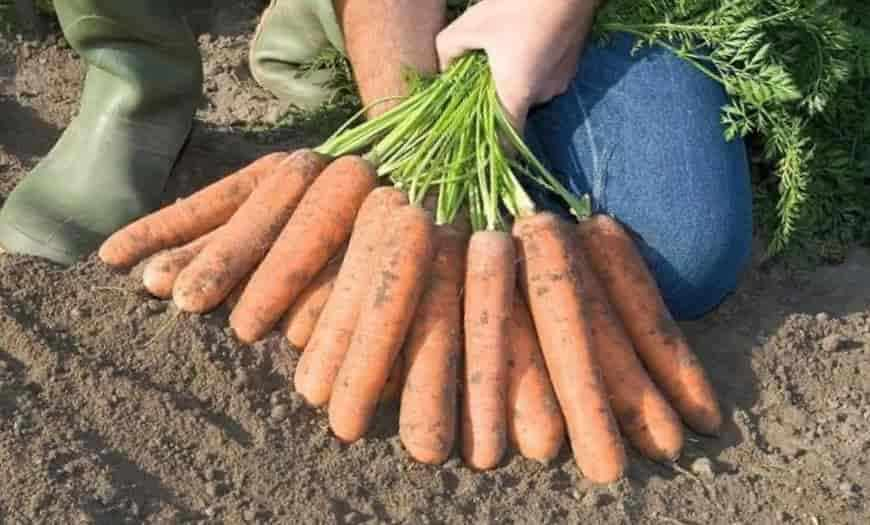 Сорт моркови Забава F1