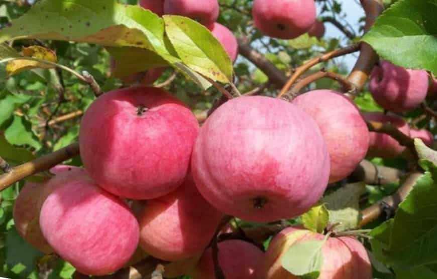 спартак яблоня