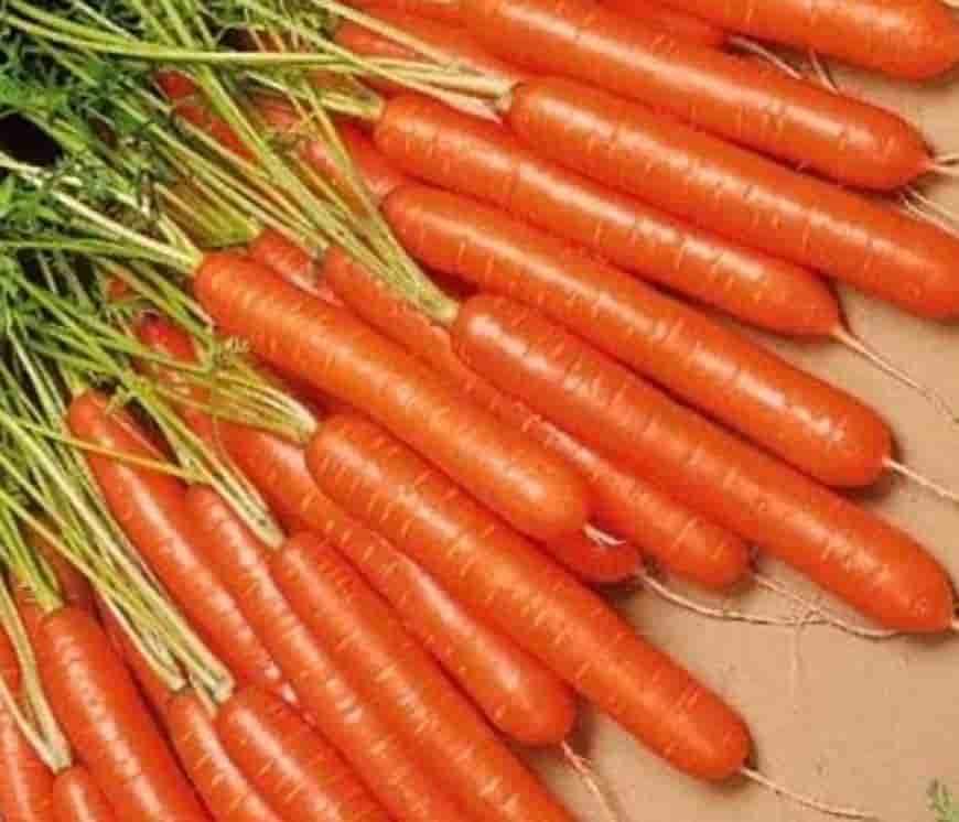 Сорта моркови Каротан