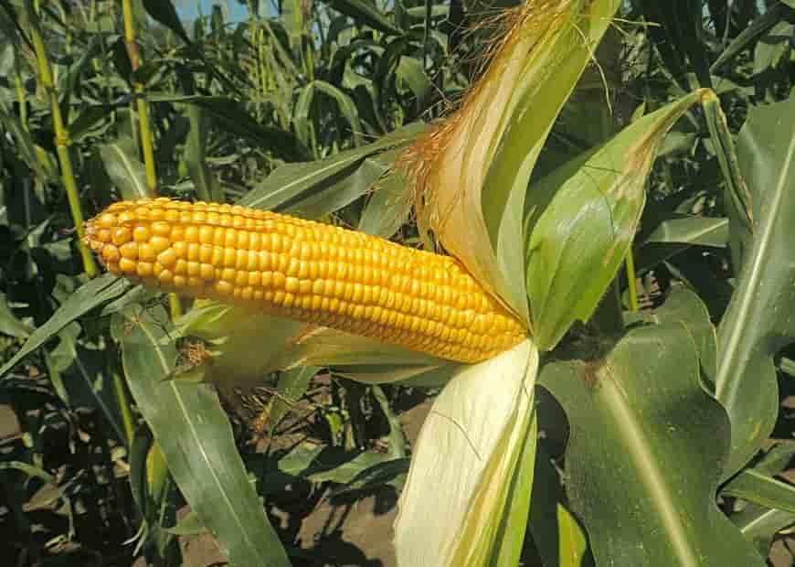 Сорт кукурузы Кубанский раннеспелый