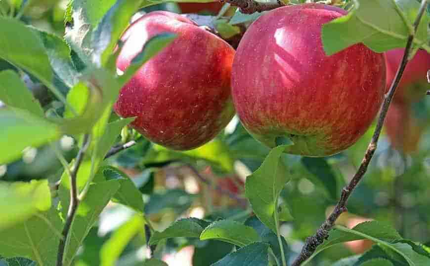 Жигулёвское яблоня
