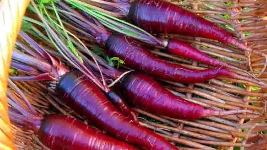 Сорт моркови Драгон