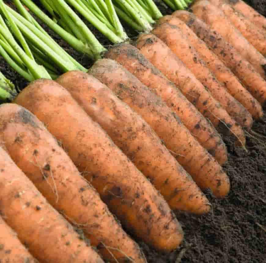 Сорт моркови Каскад F1