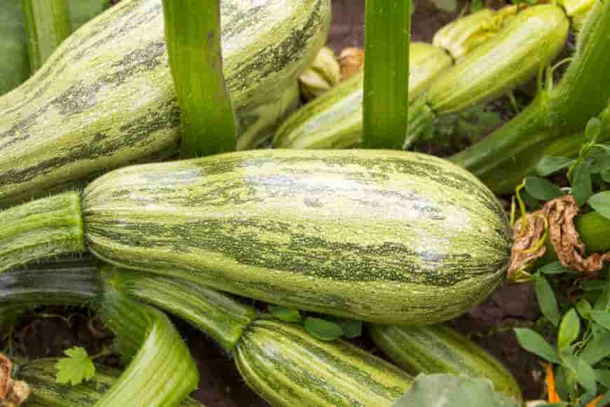 Сорта кабачков Куанд