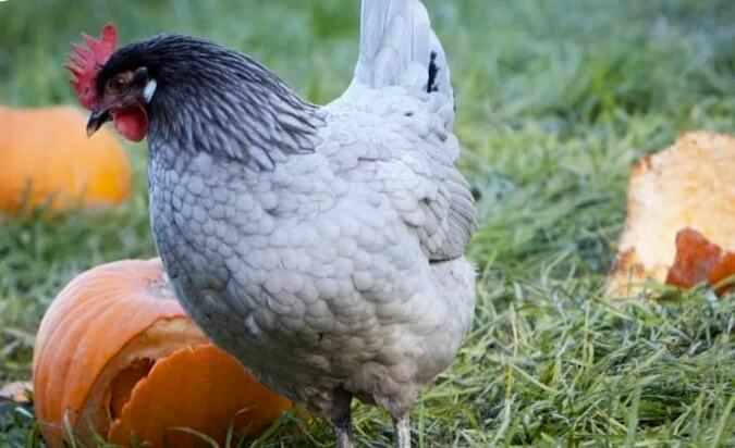Андалузская голубая порода кур