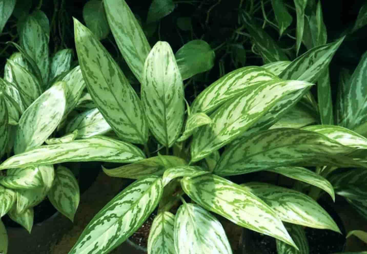 Aglaonema Cjmmutatum (Изменчивая)