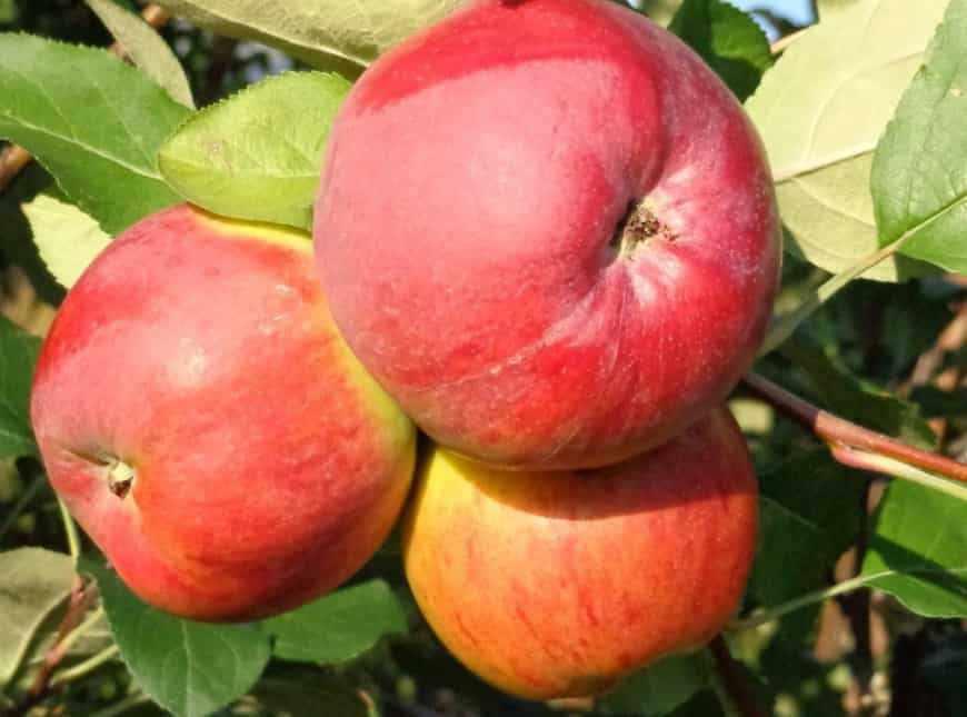 Витязь сорт яблони