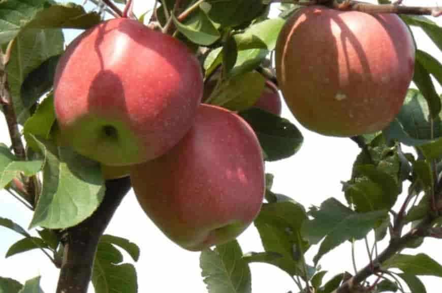 Глостер Йорк яблоня