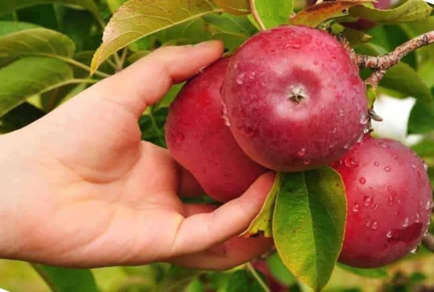 флорина яблоня