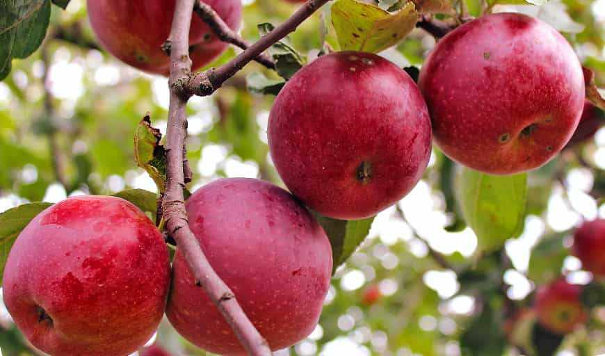 Джонатан яблоня