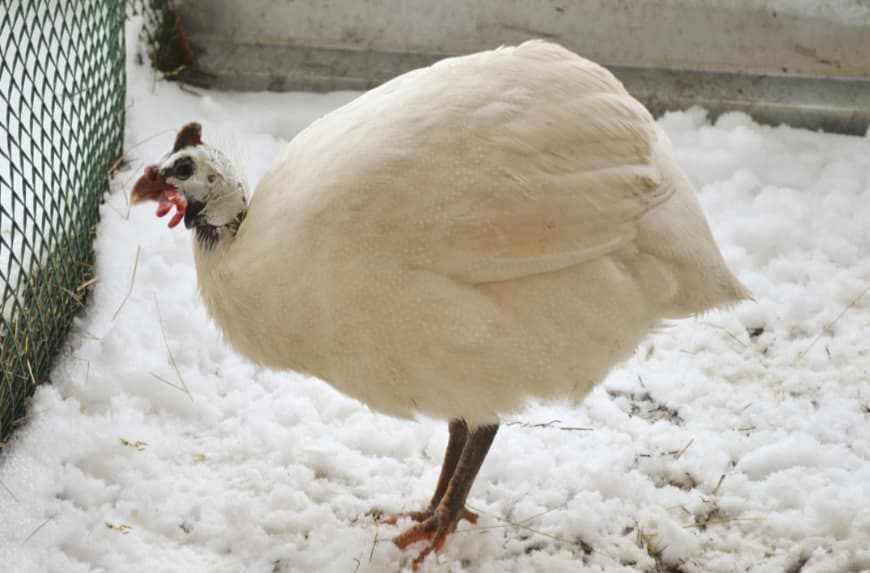 Цесарка белая