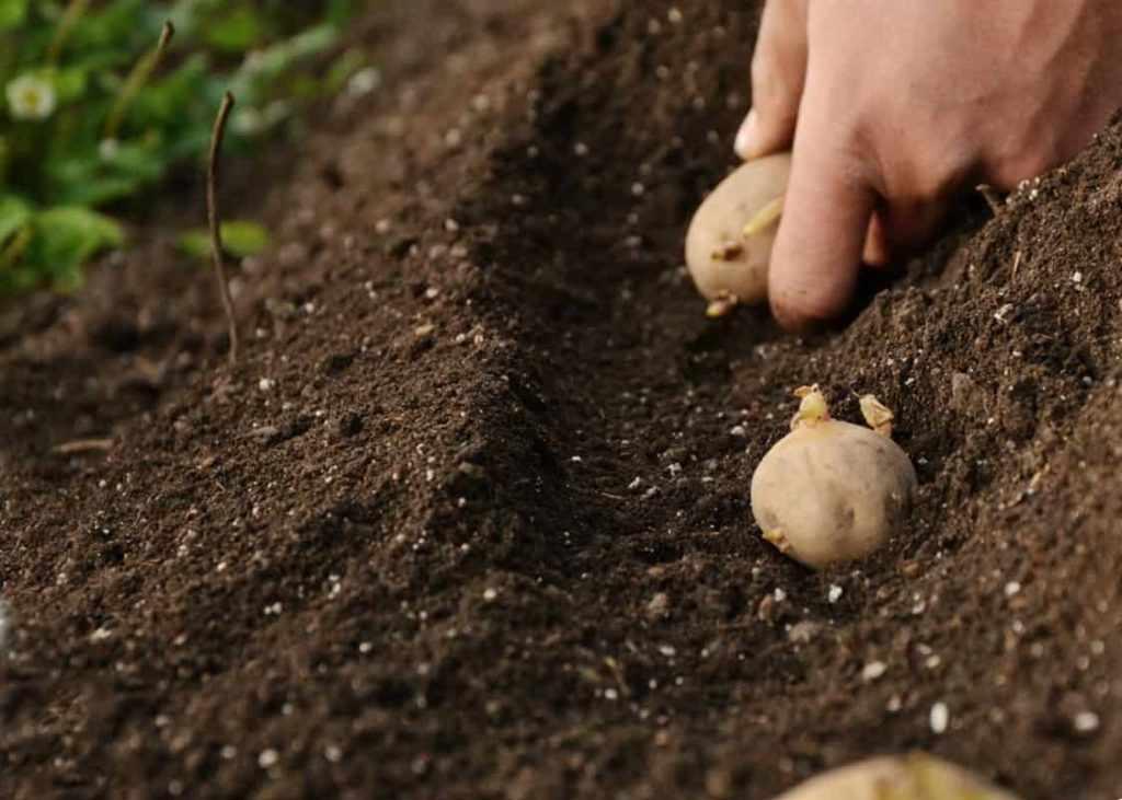 Схема посадки картофеля Глория