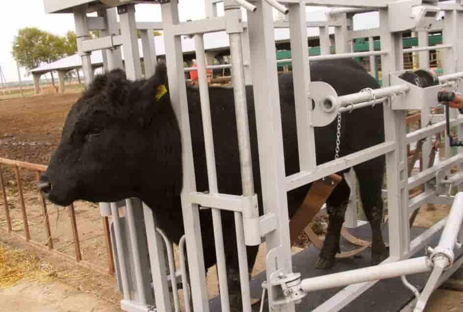Взвешивание быка