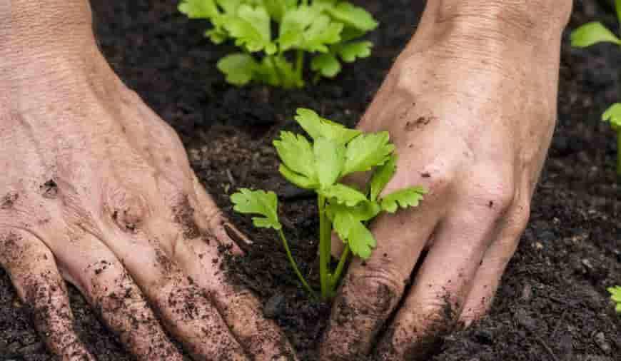 Технология выращивания сельдерея корневого