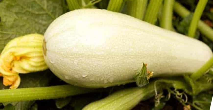 Сорта кабачков Карам