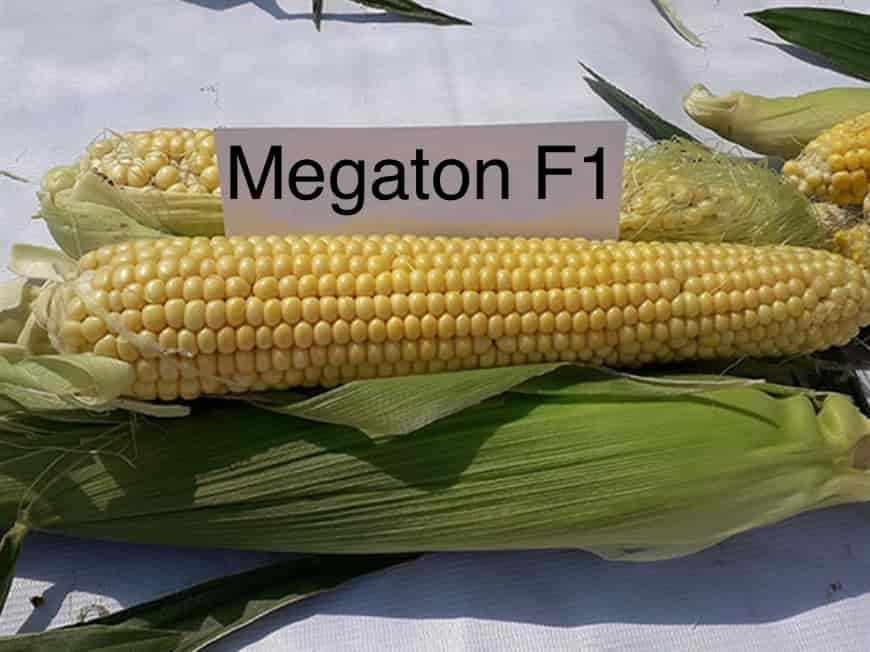 Сорт кукурузы Мегатон F1