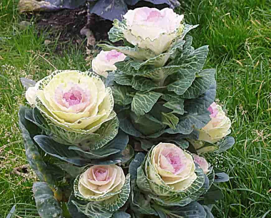 Декоративная капуста Пиглон