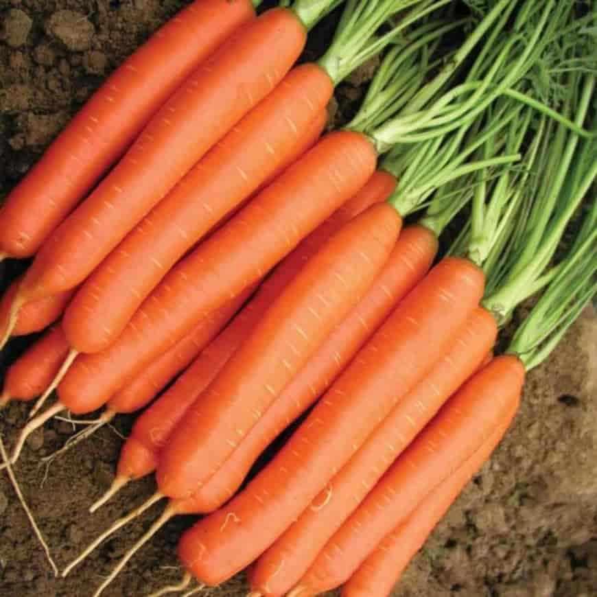 Сорт моркови Нантская-4