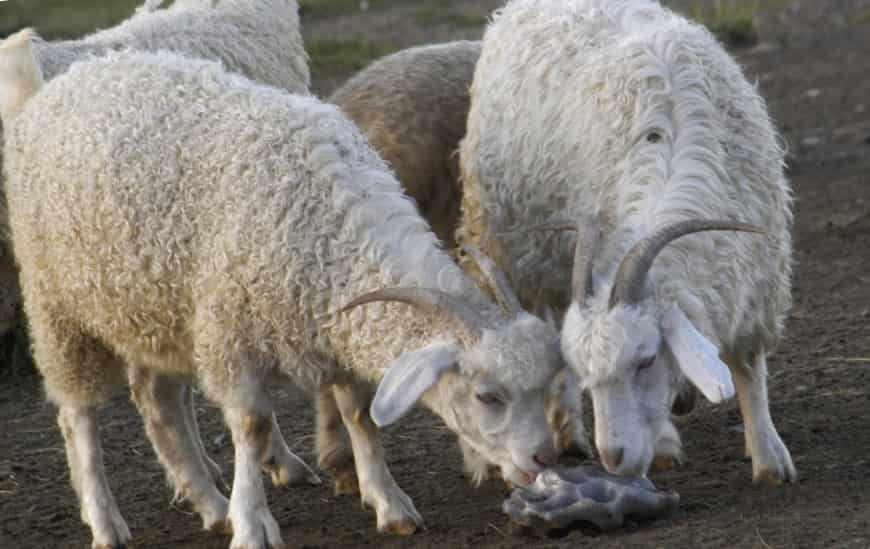 Советская шерстяная коза