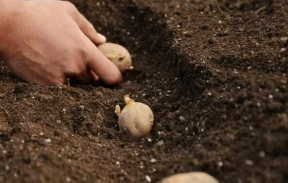 Схема посадки картофеля сорта Невский