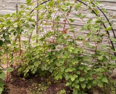 Как посадить ежемалину