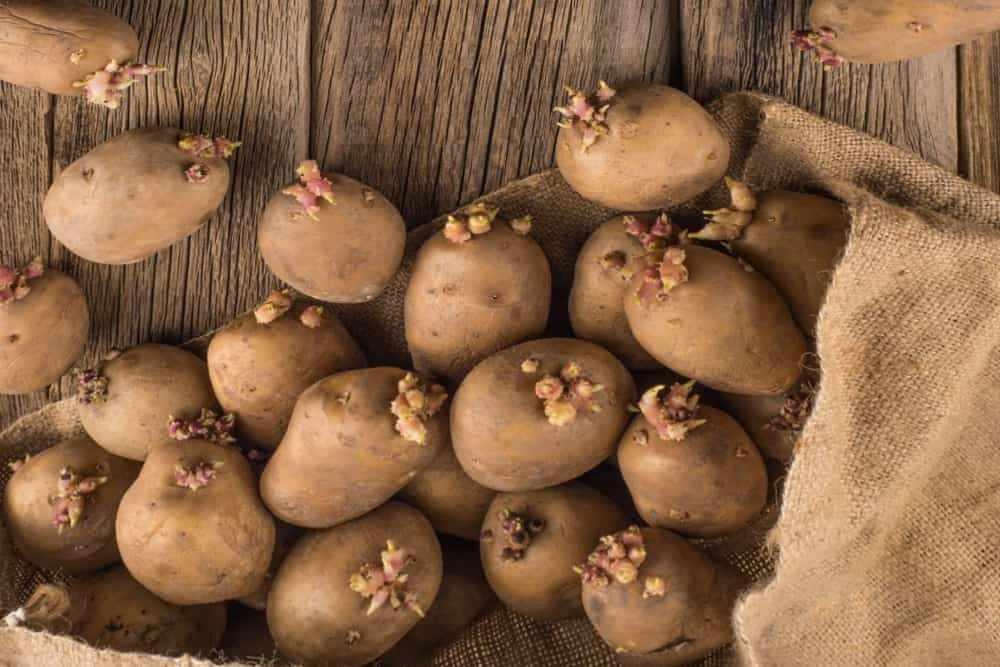 Сухой способ проращивания картофеля