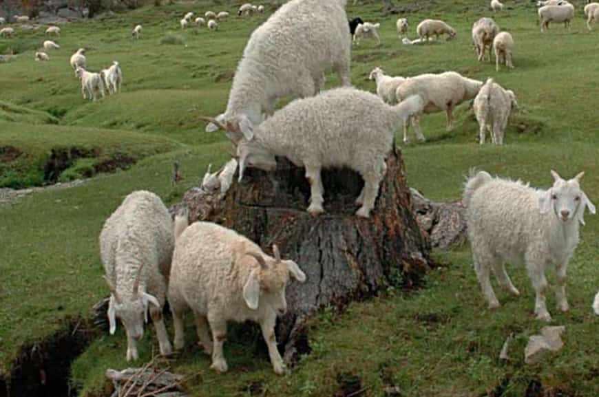 Тувинская коза