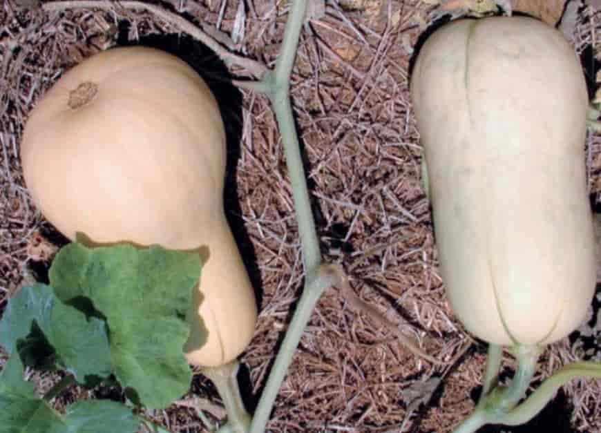 Сорта кабачков Грушевидный