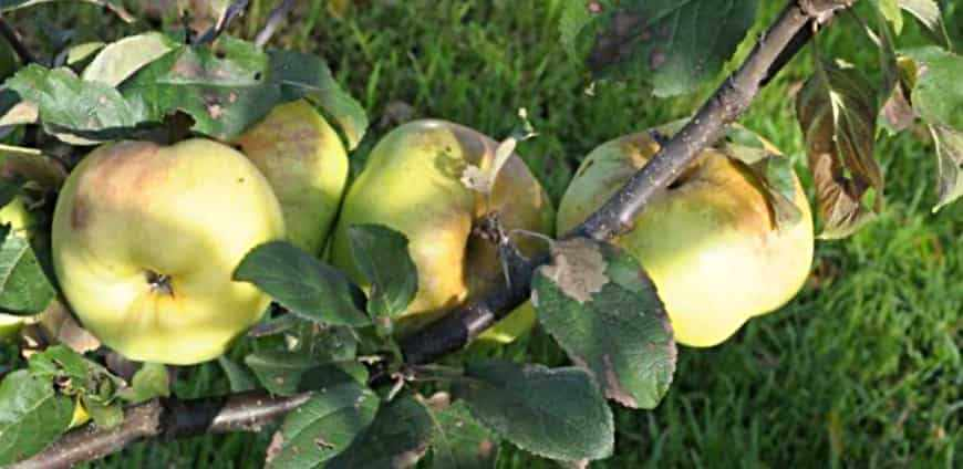 Богатырь сорт яблони