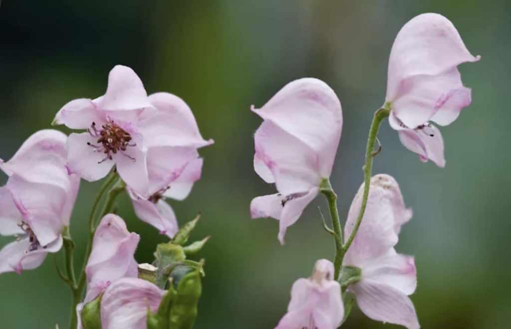 Клобучковый аконит розовый