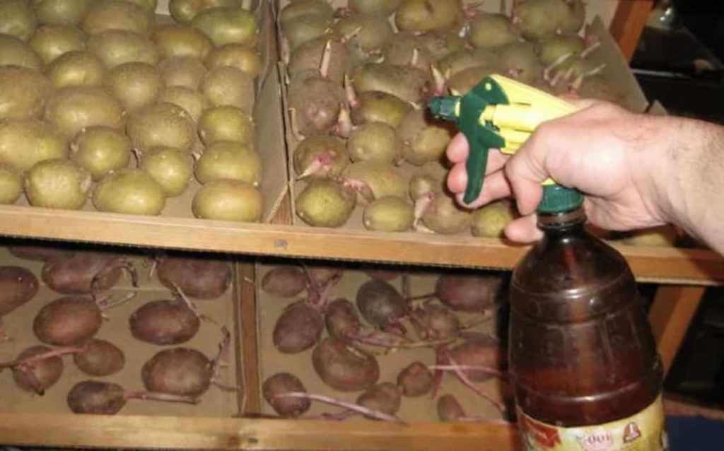 Обработка картофеля перед посадкой фунгицидами