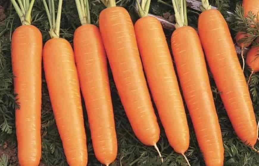 Сорт моркови Бюро