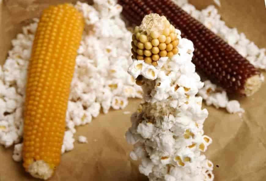 Лучшие сорта кукурузы с лопающимися зернами