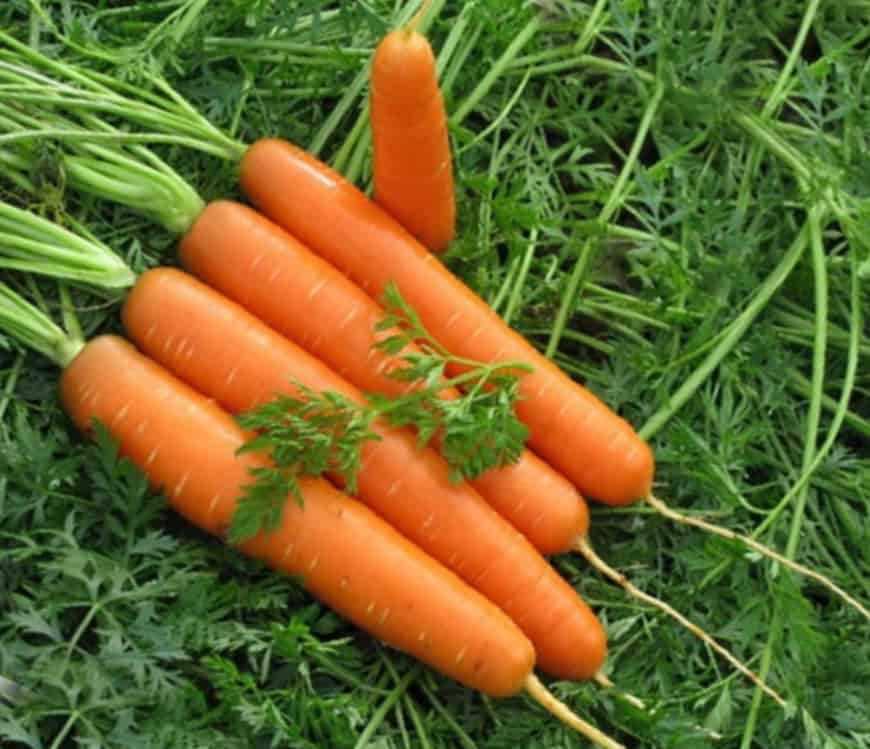 Сорт моркови Каллисто F1