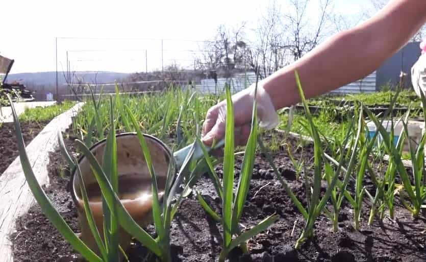 Подкормка чеснока органическими удобрениями