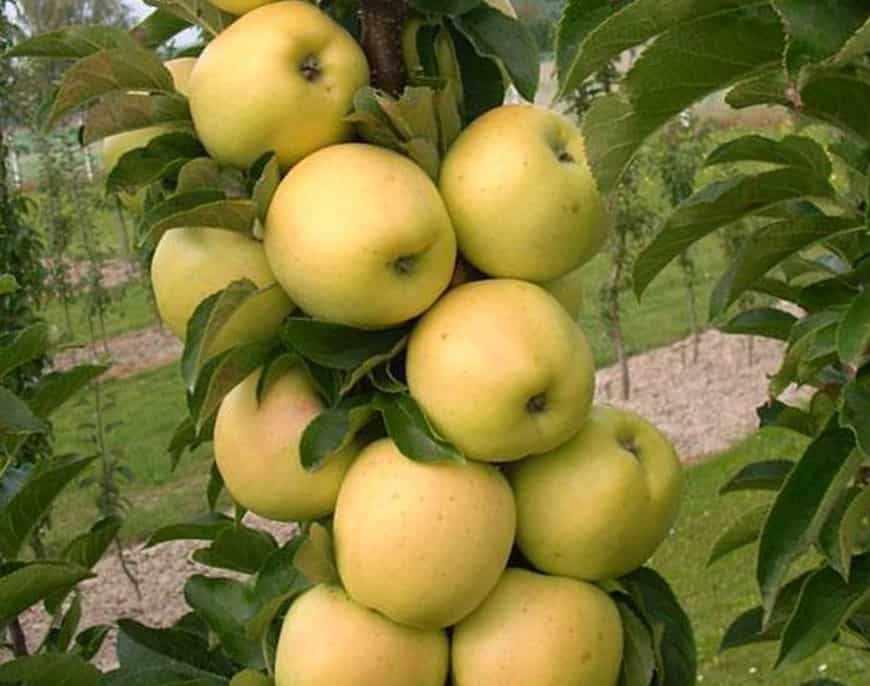 медок яблоня