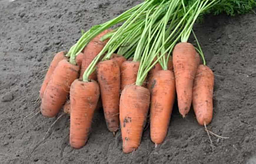 Сорт моркови Манго