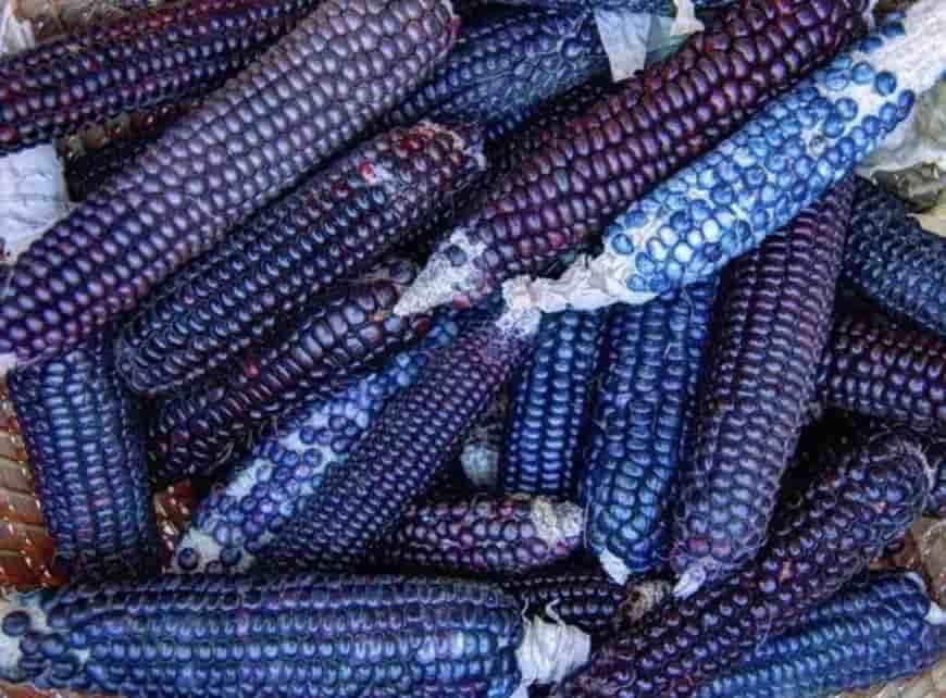 Сорт кукурузы Синий нефрит
