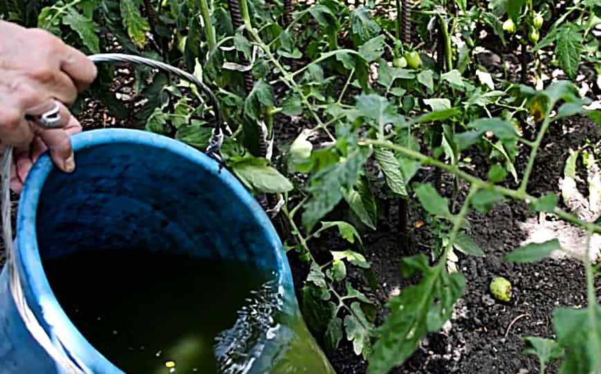 Органическое удобрение для томатов