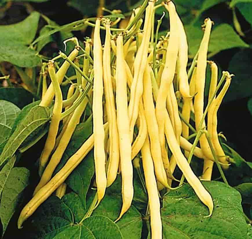 Фасоль Золотой нектар