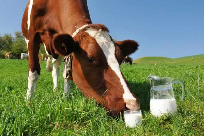 Почему молоко у коровы горчит?