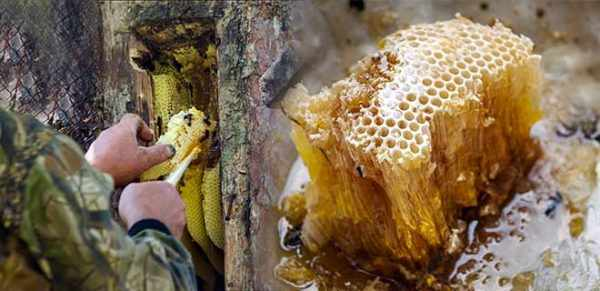 добыча дикого мёда