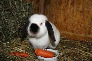 Кролик гигант калифорнийский