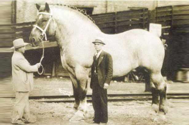 Лошадь породы Шайр, кличка Самсон, рекордсмен веса