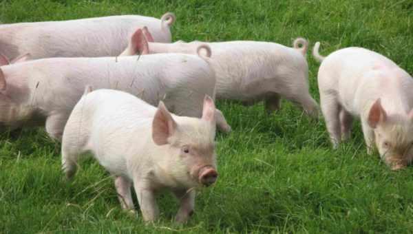 Свиньи на пастбище