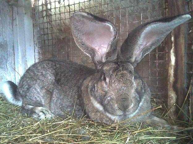 Кролик фландр прекрасно себя чувствует в просторной клетке